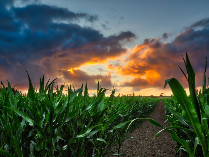 photo of field of sweetcorn